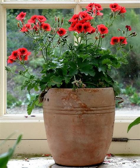 planting geraniums in pots the colour combination of the terracotta and the coral colour of the pelargonium how to