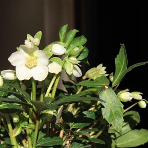 lenten plant care north texas shade plants garden guides