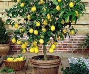 limoni coltivazione in vaso come coltivare una pianta di limone coltivazione biologica