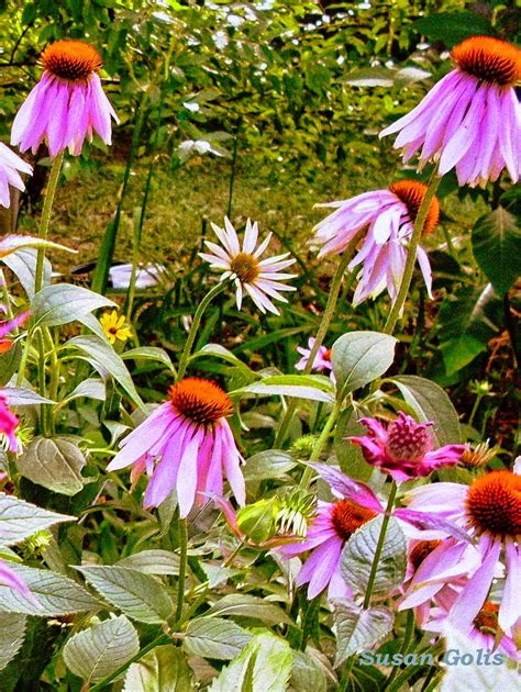 growing coneflowers yard and garden secrets garden tips for growing coneflowers