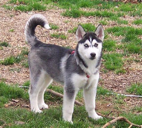 dog breeds    wolves pets world