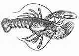 Lobster Langosta Coloring Homard Coloriage Krebs Dibujo Colorear Kreeft Spiny Langusta Malvorlage Colorare Disegno Kleurplaat Drawing Lobsters Drawings Grande Designlooter sketch template