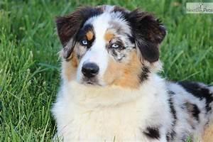 The gallery for --> Blue Merle Australian Shepherd Puppies ...