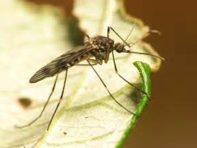 Mosquito with West Nile