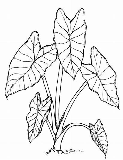Taro Drawing Leaf Clipart Plant Drawings Line