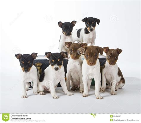 rat terrier puppies royalty  stock photography image