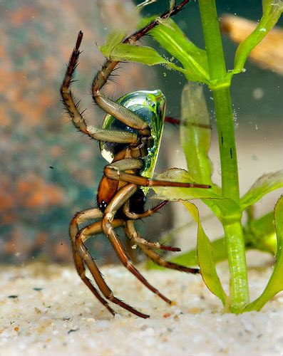 diving bell   underwater spider   york times