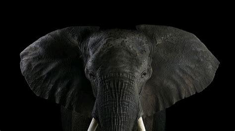 Elephant Wallpapers (1280x720) Volganga