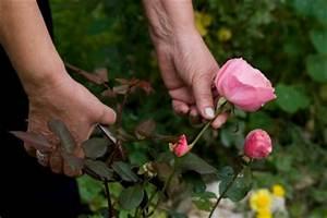 Rosen Schneiden Zeitpunkt : rosen schneiden nach der bl te so pflegen sie sie richtig ~ Frokenaadalensverden.com Haus und Dekorationen