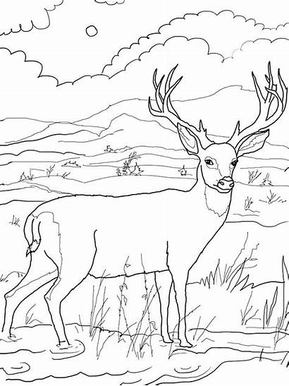 Deer Tailed Coloring Pages Whitetail Getcolorings