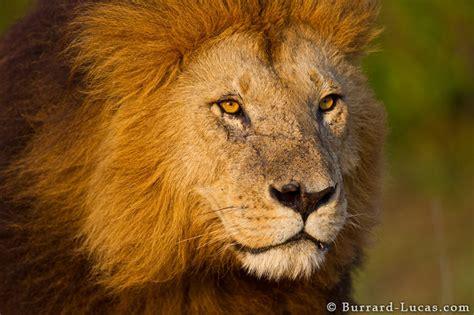 lion face burrard lucas photography