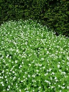 Couvre Sol Vivace : plante couvre sol page 13 paris c t jardin ~ Premium-room.com Idées de Décoration