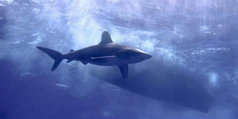 Oceanic Dive Scuba Diving With Oceanic Whitetips Scuba Diver