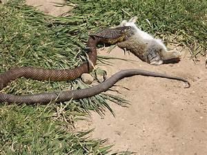 Tiger Snake Eats Rabbit Photograph by Alex Mortensen