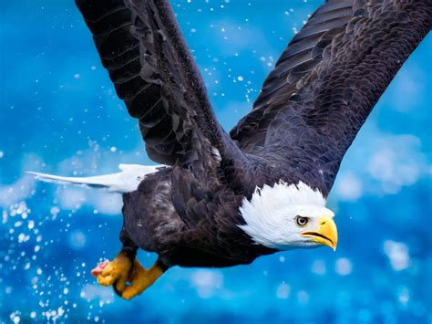 bald eagle  flight bird  prey predator beautiful