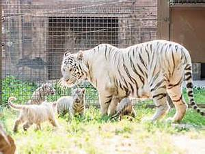 Tiger population in Bangladesh falls to 106 from 440 in ...