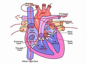 Circulatory System Diagram For Grade 5