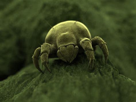 dust mite information  kids dust mite facts  kids