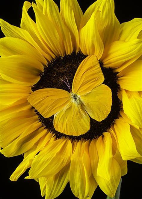 yellow butterfly  sunflower greeting card  church