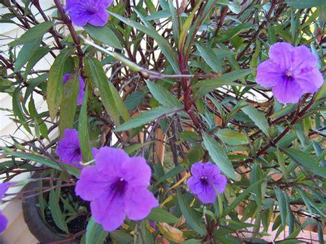 tree with small purple flowers twice as nice purple flowering tree