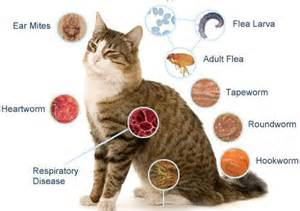 parasites in cats cat parasite symptoms and treatment