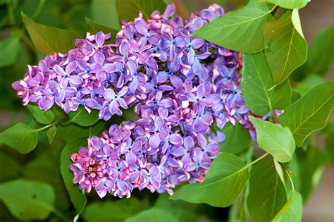 lilac bush lilac bushes growing tips for a fragrant shrub