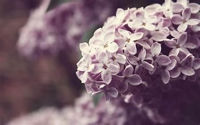 Lilac Desktop Flowers Background Flower Spring Screen