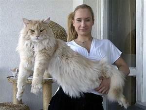 Mein Foto Xxl : maine coon la razza di gatto pi grande del mondo il blog di paolo ruffini ~ Orissabook.com Haus und Dekorationen