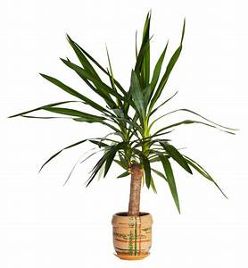 Meerrettich Blüht Was Tun : palmlilie bl ht nicht woran kann 39 s liegen ~ Lizthompson.info Haus und Dekorationen