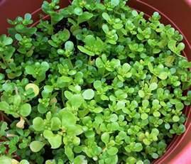 Edible Purslane Plant