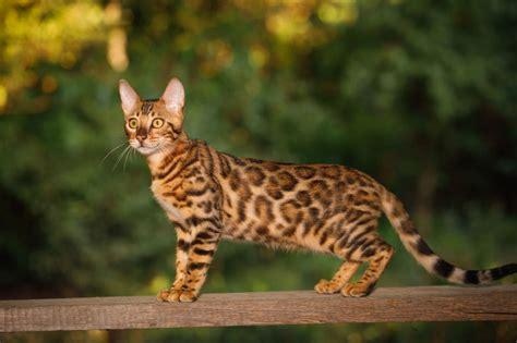 Five Personality Traits Of The Bengal Cat Pets4homes