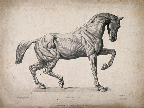 anatomical engraving   horse  wellcome library cc