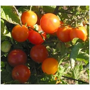 Plant Tomate Cerise : plant tomate cerise la tomate black cherry ou cerise ~ Melissatoandfro.com Idées de Décoration