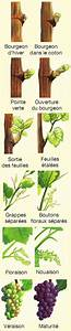 Chart Showing Growth Stages Of A Branch Shoot