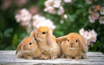 Rabbits Wallpapers Desktop Bunny Rabbit Bunnies Background