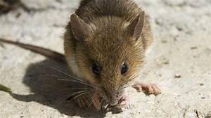 Comment Tuer Un Rat : comment tuer un mulot dans une maison taupier sur la france ~ Mglfilm.com Idées de Décoration