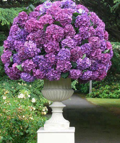 beautiful hydrangea container gardening