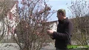 Gartenhibiskus Vermehren Stecklinge : wie schneide ich lteren gartenhibiskus eibisch hibiscus ~ Lizthompson.info Haus und Dekorationen