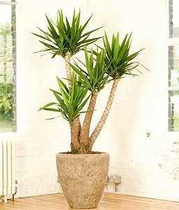 Palmen Für Drinnen : pflegeleichte zimmerpflanzen 18 vorschl ge ~ Michelbontemps.com Haus und Dekorationen