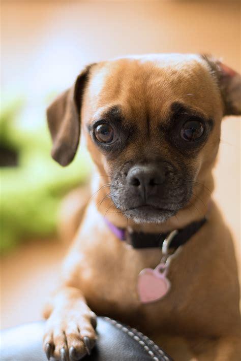 fotos gratis perrito doguillo vertebrado lo siento