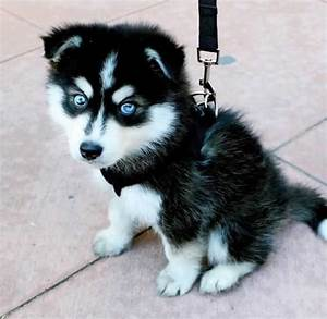 Cute Baby Huskies With Blue Eyes Pictures to Pin on ...