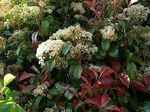 Arbuste À Feuillage Persistant : le photinia un arbuste persistant au feuillage rouge pour ~ Melissatoandfro.com Idées de Décoration