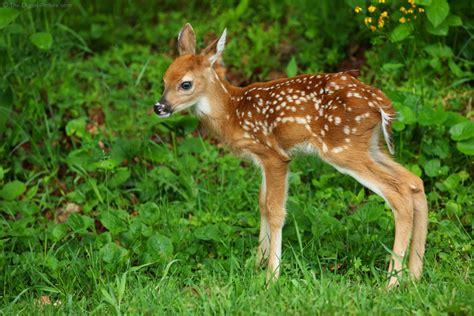 white tailed deer fawn shenandoah national park