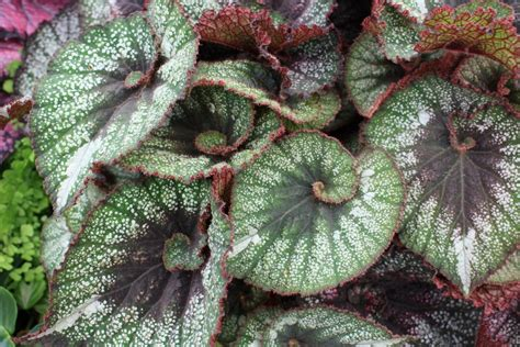 begonia leaf beguiled by begonias the frustrated gardener