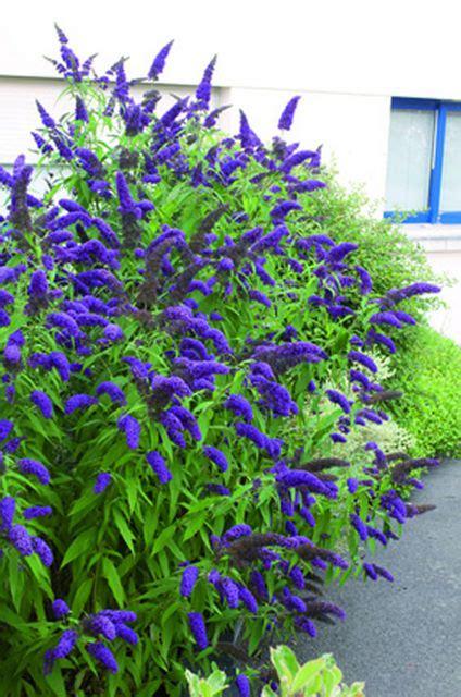 schmetterlingsflieder buddleja blau pflanzen aus blumenzwiebelnversand de garten