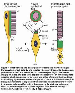 Webvision  Evolution Of Phototransduction  Vertebrate
