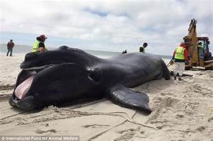 Rare North Atlantic Whale Weighing 10k Lbs Is Found Dead