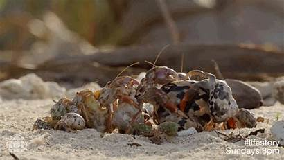 Animal Homes Interesting Hermit Crabs Feed Shelters