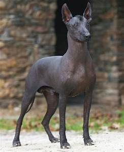 Mexican Hairless Dog Chupacabra | www.pixshark.com ...
