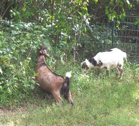 goat breed eat   weeds modern farming methods